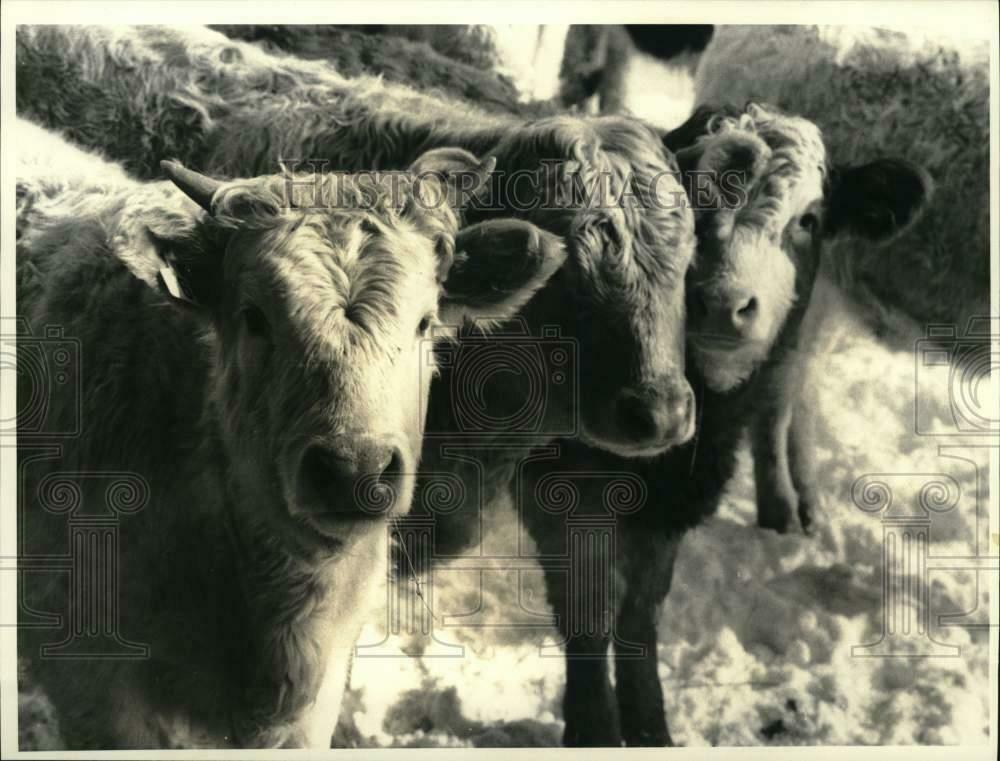 Name:  1988-Press-Photo-Beefalo-at-Farm-of-John.jpg Views: 40 Size:  87.7 KB